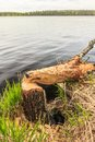 Tree trunk gnawed by beaver Royalty Free Stock Photo