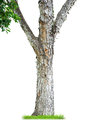 Tree trunk isolated on white background Royalty Free Stock Photography