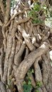 Tree Trunk vines Royalty Free Stock Photo
