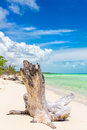 Tree trunk at a virgin beach with turquoise water in cuba cayo coco coco key on summer day puffy white clouds on blue Royalty Free Stock Images