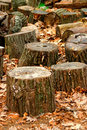 Tree Trunks Stock Image