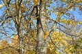 Tree trunks in autumn time Royalty Free Stock Photo
