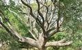 Tree trunks big larger Royalty Free Stock Photo