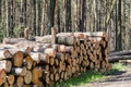 Tree trunks cut and stacked in forest. Royalty Free Stock Photo