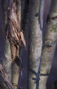 Tree trunks in a dark forest Royalty Free Stock Photo