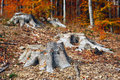 Tree trunks deforestation area in romania Stock Photography