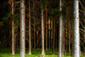 Tree trunks in evening light scandinavian forest Royalty Free Stock Photos