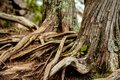 Trees trunks with exposed roots in northern Minnesota Royalty Free Stock Photo