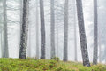Tree trunks with fog in a forest Stock Photography