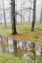 Tree trunks with fog and reflections in a puddle on rainy day Royalty Free Stock Photography