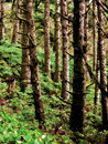 Tree trunks in lush forest hillside a oregon Stock Photography
