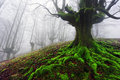 Tree with twisted roots in foggy forest Royalty Free Stock Photos
