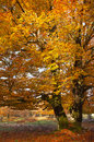Tree in the urbasa mountain with autumn leaves navarra spain Stock Images