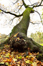 Tree at a verge of falling doing its best holding to the ground Royalty Free Stock Images