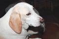 Tree walker hound