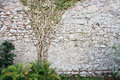 Tree on the wall nice green ivy old stone with free space Stock Images