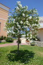 Tree with white flowers Royalty Free Stock Photo