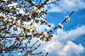Tree with white flowers against the sky in the spring Royalty Free Stock Photo