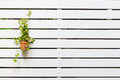 Tree on white lath wall in a pot Royalty Free Stock Image