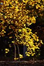 A tree with yellow leaves in beijing olympic green park in autumn season Royalty Free Stock Photography