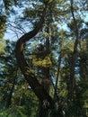 Treebent Royalty Free Stock Photo