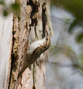 Treecreeper at Warnham Stock Photo