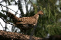 Treed Blue Grouse Stock Images