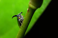 Treehopper Stock Image