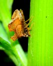 Treehopper or spittlebug perched on a plant stem Royalty Free Stock Photography