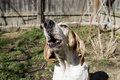 Treeing Walker Coon Hound Howling Royalty Free Stock Photo