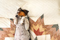Treeing Walker Coonhound on bed Royalty Free Stock Photo