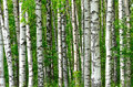Trees in the birch wood a spring Royalty Free Stock Image