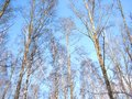 Trees and blue sky there are birch green pine Stock Photo