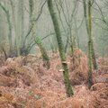 Trees and bracken in the mist Royalty Free Stock Photo
