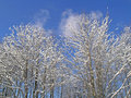 Trees covered with snow fresh and ice on a sunny winter day Royalty Free Stock Photos