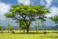 Trees and cows. Laos. Stock Photo