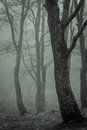 Trees drenched by fog tonality forest in zao mountain resort japan Royalty Free Stock Photo