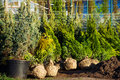 Trees in the evergreen nursery garden Royalty Free Stock Photo