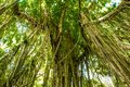 Trees in forest with roots of the monkey forest, Ubud, Bali, Indonesia Royalty Free Stock Photo