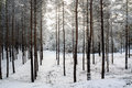 Trees in the forest in winter Royalty Free Stock Photo
