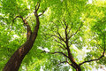 Trees with green leaves canopy at sunny spring day bottom view Royalty Free Stock Photo