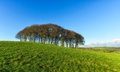 Trees on a hill copse of beech top of the devon and cornwall border Stock Photos