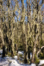 Trees With Lichen