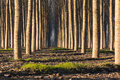 Trees in line inside forest Royalty Free Stock Photo