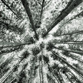Trees looking up medium format black and white film photograph of straight Royalty Free Stock Photography