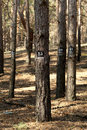 Trees marked for cutting down old Royalty Free Stock Photography