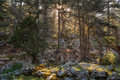 Trees in old forest covered with moss. Sunlight streaming through the branches Royalty Free Stock Photo