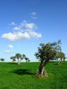Trees of olive in row Stock Image