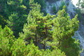Trees pine on rocks Royalty Free Stock Photo