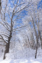 Trees and shrubs in blanket of snow marthaler park forest under fresh blue skies Stock Images